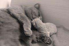 Η γάτα φροντίζει τα νέα borns της, πρώτη ημέρα της ζωής Στοκ φωτογραφία με δικαίωμα ελεύθερης χρήσης