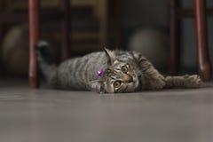 η γάτα χαλαρώνει Στοκ φωτογραφίες με δικαίωμα ελεύθερης χρήσης