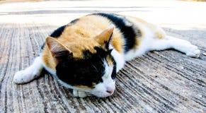 η γάτα χρωμάτισε τρία Στοκ Φωτογραφία