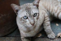 Η γάτα λωρίδων παρακολουθεί τη κάμερα Στοκ φωτογραφία με δικαίωμα ελεύθερης χρήσης