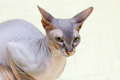 Η γάτα Donskoy Sphynx στοκ φωτογραφία με δικαίωμα ελεύθερης χρήσης
