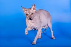 Η γάτα Sphynx σε ένα μπλε υπόβαθρο στοκ εικόνες