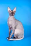 Η γάτα Sphynx σε ένα μπλε υπόβαθρο στοκ φωτογραφίες με δικαίωμα ελεύθερης χρήσης