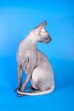 Η γάτα Sphynx σε ένα μπλε υπόβαθρο στοκ φωτογραφία