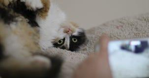 Η γάτα Tricolor που βρίσκεται πίσω, αστείος γούνινος λυπημένος σοβαρός κρεβατιών ματιών ανοικτός οκνηρός sleeppy εσωτερικός ανόητ απόθεμα βίντεο