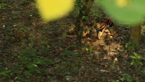 Η γάτα Tricolor τράβηξε σε ένα κόκκινο λουρί σε μια διαδρομή ρύπου στο πάρκο το καλοκαίρι ενάντια στο σκηνικό των πράσινων δέντρω φιλμ μικρού μήκους