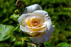 Η γαλλική δαντέλλα αυξήθηκε λουλούδι στον ήλιο Στοκ φωτογραφίες με δικαίωμα ελεύθερης χρήσης