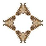 Η γεωμετρική μορφή πεταλούδων απομονώνει στο άσπρο υπόβαθρο Στοκ Φωτογραφία