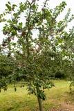 η γεωργία διακλαδίζεται νόστιμο δέντρο δαμάσκηνων καρπού έννοιας Στοκ Φωτογραφίες