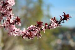 η γεωργία διακλαδίζεται νόστιμο δέντρο δαμάσκηνων καρπού έννοιας Στοκ εικόνα με δικαίωμα ελεύθερης χρήσης
