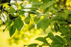 η γεωργία διακλαδίζεται νόστιμο δέντρο δαμάσκηνων καρπού έννοιας Στοκ φωτογραφίες με δικαίωμα ελεύθερης χρήσης