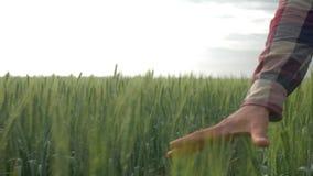 Η γεωργία, unrecognizable άτομο αγροτών περπατά αργά πέρα από την πράσινη φυτεία και αγγίζει το κριθάρι με το χέρι στον τομέα απόθεμα βίντεο