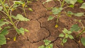 Η γη είναι ραγισμένη Μια ξηρασία στη γεωργία στοκ εικόνα με δικαίωμα ελεύθερης χρήσης
