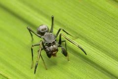 Η γιγαντιαία αράχνη μυρμηγκιών στον κόσμο Στοκ εικόνα με δικαίωμα ελεύθερης χρήσης