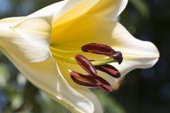 Η γιγαντιαία κίτρινη Lilly στοκ φωτογραφία με δικαίωμα ελεύθερης χρήσης