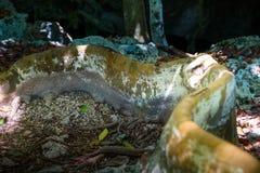 Η γιγαντιαία ρίζα του δέντρου που σέρνεται εμπρός στοκ εικόνα με δικαίωμα ελεύθερης χρήσης