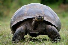 Η γιγαντιαία χελώνα στη χλόη galapagos νησιά ωκεάνιος ειρηνικός Ισημερινός στοκ εικόνες
