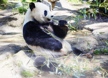 Η γιγαντιαία Panda ή η άσπρο Panda ή το μπαμπού αντέχουν Στοκ Εικόνα
