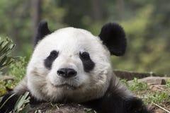 Η γιγαντιαία Panda αντέχει: Ανώτατη κινηματογράφηση σε πρώτο πλάνο ικανοποίησης Στοκ Εικόνα