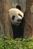 Η γιγαντιαία Panda Στοκ Εικόνες