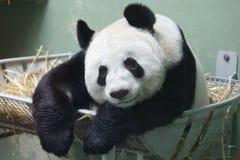 Η γιγαντιαία Panda Στοκ εικόνα με δικαίωμα ελεύθερης χρήσης