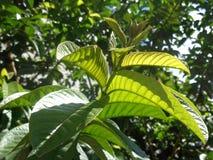 Η γκοϋάβα βγάζει φύλλα Στοκ Εικόνες