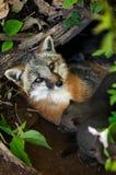 Η γκρίζα αλεπού Vixen (cinereoargenteus Urocyon) βρίσκεται στο κρησφύγετο με το Κ της Στοκ εικόνα με δικαίωμα ελεύθερης χρήσης