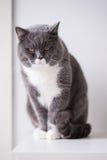 Η γκρίζα βρετανική γάτα Στοκ Φωτογραφίες