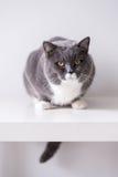 Η γκρίζα βρετανική γάτα Στοκ εικόνες με δικαίωμα ελεύθερης χρήσης