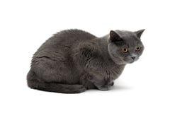 Η γκρίζα γάτα αναπαράγει σκωτσέζικο που απομονώνεται κατ' ευθείαν στο άσπρο υπόβαθρο στοκ φωτογραφία