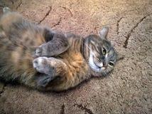 Η γκρίζα γάτα βρίσκεται στην πλάτη Στοκ εικόνες με δικαίωμα ελεύθερης χρήσης