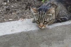 Η γκρίζα γάτα βρίσκεται στη συγκράτηση Κινηματογράφηση σε πρώτο πλάνο Στοκ εικόνα με δικαίωμα ελεύθερης χρήσης