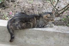 Η γκρίζα γάτα βρίσκεται στη συγκράτηση κοντά στους ροδαλούς θάμνους Πλάγια όψη Στοκ Φωτογραφία