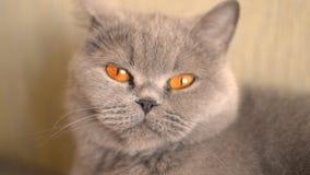 Η γκρίζα γάτα γυρίζει το κεφάλι του απόθεμα βίντεο