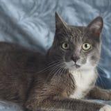 Η γκρίζα γάτα εξετάζει άμεσα σας Στοκ Εικόνα