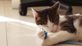 Η γκρίζα γάτα καθαρίζει lazily τα πόδια της στο μαλακό φως του ήλιου πρωινού απόθεμα βίντεο