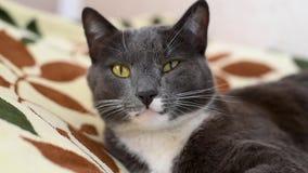 Η γκρίζα γάτα με το άσπρο στήθος βρίσκεται στη τοπ άποψη θέσεών της απόθεμα βίντεο