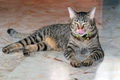 Η γκρίζα γάτα τινάζει τη γλώσσα στοκ φωτογραφίες με δικαίωμα ελεύθερης χρήσης