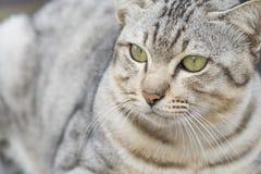Η γκρίζα γάτα φαίνεται δόλωμα είναι α σοβαρά Στοκ φωτογραφία με δικαίωμα ελεύθερης χρήσης