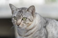 Η γκρίζα γάτα φαίνεται δόλωμα είναι α σοβαρά Στοκ Εικόνες