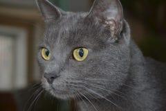 Η γκρίζα γάτα στοκ φωτογραφίες με δικαίωμα ελεύθερης χρήσης