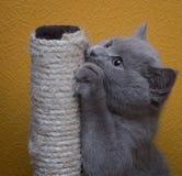 η γκρίζα γάτα shorthair ακονίζει το καρφί στοκ φωτογραφία με δικαίωμα ελεύθερης χρήσης
