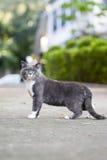 Η γκρίζα γάτα shorthair Στοκ φωτογραφία με δικαίωμα ελεύθερης χρήσης