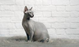 Η γκρίζα γάτα sphynx κάθεται σε ένα κάλυμμα γουνών και κοιτάζει λοξά Στοκ Εικόνες