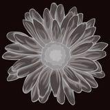 Η γκρίζα κρητιδογραφία χρωμάτισε chamomile Χρωματισμένο και ευθυγραμμισμένο chamomile λουλούδι Στοκ εικόνα με δικαίωμα ελεύθερης χρήσης