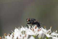 Η γκρίζα μύγα στις πτώσεις βροχής επάγωσε στα άσπρα λουλούδια Στοκ Φωτογραφίες