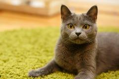 Η γκρίζα χαλάρωση γατών στον πράσινο τάπητα Στοκ Εικόνες