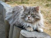 Η γκρίζα χνουδωτή γάτα βρίσκεται στα κούτσουρα Στοκ εικόνα με δικαίωμα ελεύθερης χρήσης