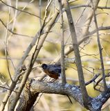 Η γλυκιά κόκκινη Robin που πλαισιώνεται στους κλάδους στοκ εικόνα