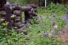 Η γοητεία των κομψών bellflowers στοκ φωτογραφία
